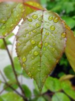 Water drops on leaves 1 by eco6org