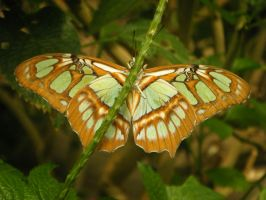 Green Butterfly by harpseal16