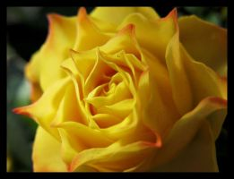 yellow rose by justarougue