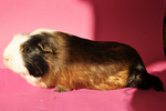 Guinea pig stock 01 by windfuchs