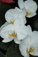 phalaenopsis white by marob0501