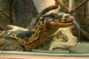 Water monitor Stock 3 by LuDa-Stock