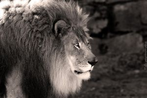 Lion's portrait by TlCphotography730