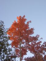 Fall 08': Sun Touched Maple 2 by Eternal-Mothra