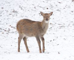juvenile Sika Deer by bookscorpion