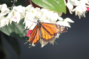 Monarch Butterfly 01 by FoxRAGE-Stock