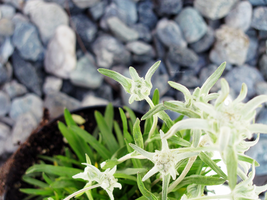 edelweiss. by awfultosee