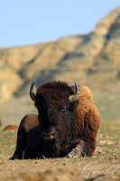 Restful Bison by ThisWomanWanders