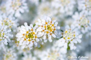 Candytuft by CecilyAndreuArtwork