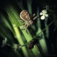Xysticus Ulmi by Weissglut