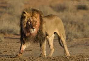 King of the Kalahari by MorkelErasmus