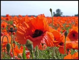 Poppies 2 by cycoze