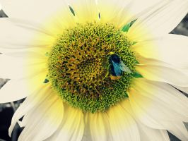 Bee on sunflower by Bouwland