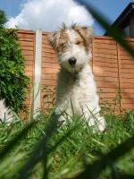 Freddy my Wire Fox terrier by Lozyface