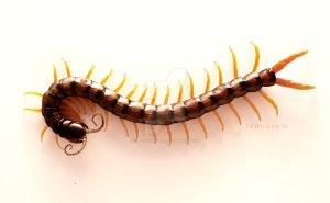 Scolopendra cingulata by electricalsheep