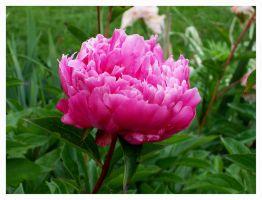 Peony In The Rain by bataleigh