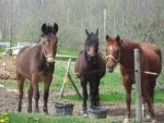 Two Horses And A Mule by VertoAtrum