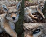 Coyote soft mount *sold* by FoxyCreations