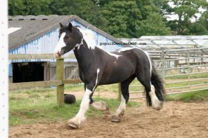 Piebald horse trotting2_stock by popui