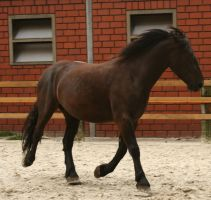 stock black merens horse trotting by Nexu4