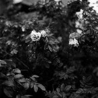 roses bw by LeeUmass