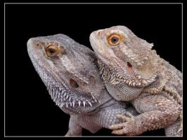 Bearded Dragons by hugznstuff