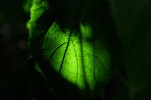 translucent leaf by isischneider