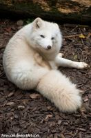 Arctic Fox IV by amrodel