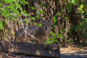 Coyote2 by WesHPhotography