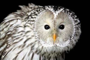 Ural owl. by Evey-Eyes