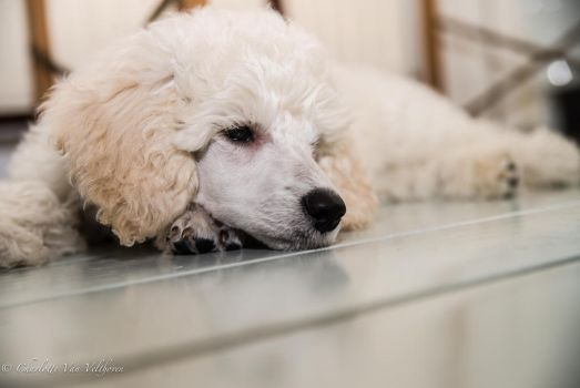 James The Poodle Puppy by CharliesBrightEyes