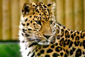 Leopard by McProbius