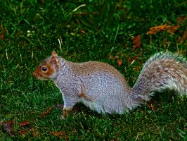 Western Gray Squirrel by Mackingster