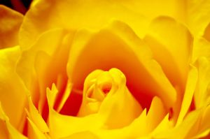 Yellow Rose by Wurschtbrot