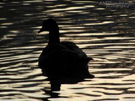 Lonesome Goose by amdumbaugh