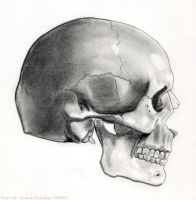 Profile of Adult Human Skull by BrigetteMora