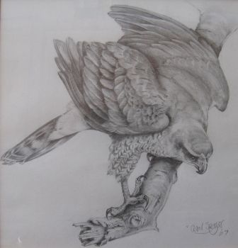 Goshawk Sketch -photo through glass of frame- by Carl-Seager