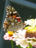 Painted Lady on Zinnia by Daniel-Storm