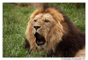Singing Lion by TVD-Photography