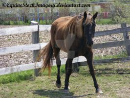 Kentucky Mountain Horse 2 by EquineStockImagery
