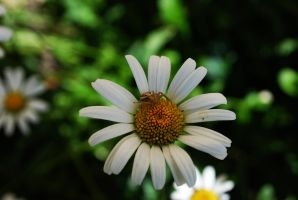 White flower with spider. by TonistL