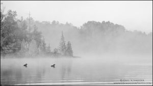 Loons in the fog by gregster09