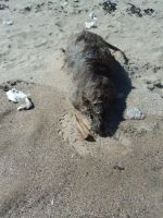 Dead rat holydays at the beach by ed---end
