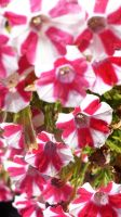 Candy Cane Flowers by willgzhou