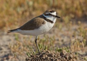 Solitary Brother -Kentish Plover by Jamie-MacArthur