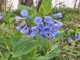 Virginia Bluebells by jim88bro