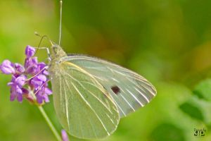 Lightgreen Butterfly by geeson