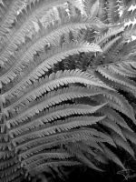 Fern Fronds by Korppi-Clicks