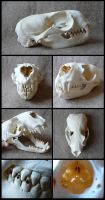 Californian Sea Lion Skull by CabinetCuriosities