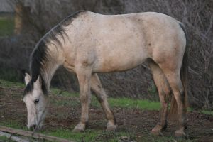 Flea Bitten Gray Arabian/Friesian Mare by HorseStockPhotos